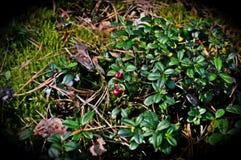 Moosbeere im Wald lizenzfreie stockbilder