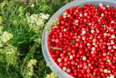 Moosbeeren Stockfoto