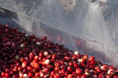 Moosbeeren, die nachdem dem Ernten gewaschen werden stockfotografie