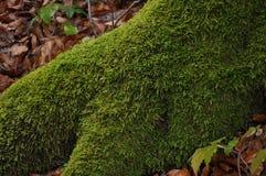 Moosbeschaffenheit Moss Background Grünes Moos auf Schmutzbeschaffenheit, Hintergrund stockfoto