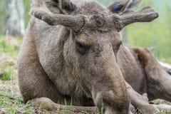 moose Royalty-vrije Stock Fotografie