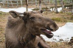 moose Royalty-vrije Stock Foto