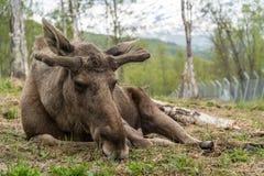 moose Stock Foto