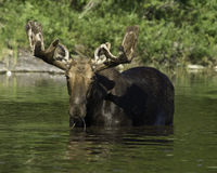 Moose. Bull moose feeding in beaver pond stock photography