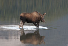 Moose Stock Photos