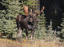 Moose. In grass meadow in Canada Royalty Free Stock Images