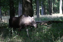 Moose. In a green forest Stock Photography