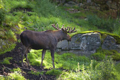 Moose Royalty Free Stock Photo