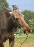 Moose. Female Moose eating green leaves Stock Photography