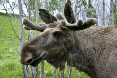 Moose Stock Image