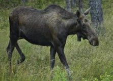 Moose 2 Stock Photos