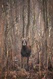 Moose. Biebrza National Park, Poland royalty free stock photography