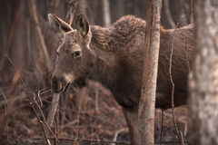 Moose. Biebrza National Park, Poland stock images