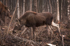 Moose. Biebrza National Park, Poland stock image