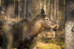 Moose. Biebrza National Park, Poland royalty free stock images