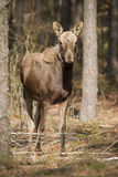 Moose. Biebrza National Park, Poland stock photos