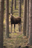 Moose. Biebrza National Park, Poland stock photography