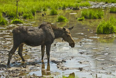 Moose. A moose near Spray lakes in the Canadian Rockies near Canmore Alberta Canada Stock Photo