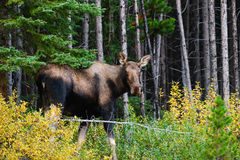Moose Royalty Free Stock Image