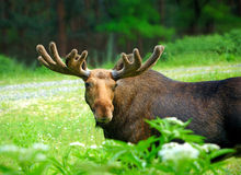 Moose. Are in the natural environment of habitation stock photos