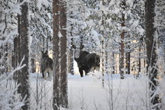 Moose. Curious moose in winter landscape stock photography