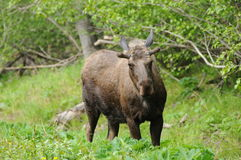 Moose. A young male moose in Potter Marsh enjoying the fresh leaves Royalty Free Stock Photo