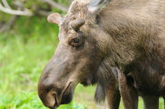 Moose. A side view of a Moose face close up. This Moose was enjoying the fresh leaves in Potter Marsh Royalty Free Stock Photo