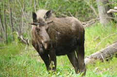 Moose. A young male moose in Potter Marsh enjoying the fresh leaves Stock Photo