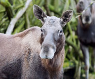 A Moose Stock Photo