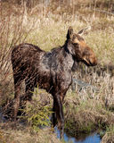 The Moose. Young moose standing by a puddle of water Royalty Free Stock Photos