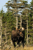 Moose Stock Photography