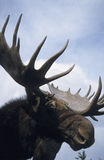 Moose. Head with big antler royalty free stock images