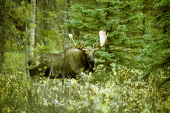 Moose. Head with big antler royalty free stock photos