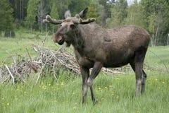 Free Moose Royalty Free Stock Images - 29322249