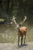 Moose. Alce teenager Biological Reserve Huilo, Rivers Region. Chile Stock Photo
