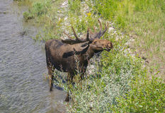 Free Moose Royalty Free Stock Photography - 32841817