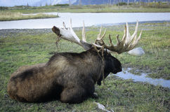 Moose. Big moose bull resting on meadow stock photography