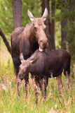 Moose 4. Mother moose licking her baby Royalty Free Stock Photos