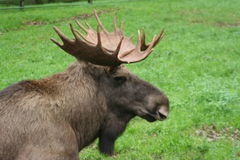 moose Obrazy Royalty Free