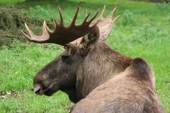 moose Obraz Stock