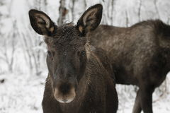 Free Moose Stock Images - 49129354