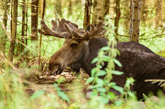 Free Moose Royalty Free Stock Photos - 56682498