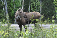 Moose. I took this picture of a Moose outside Denali National Park Royalty Free Stock Photos