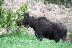 moose fotografia stock