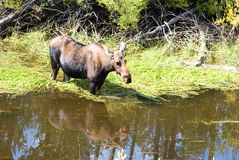 Moose. The reflection of a moose standing in the water Stock Photography