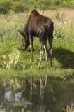 Moose. (Alces alces) in Banff National Park Canada Stock Photography
