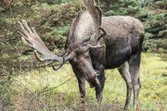moose Zdjęcie Stock