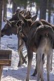 moose Zdjęcie Royalty Free