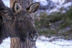 moose Obrazy Stock