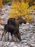 moose Stock Fotografie